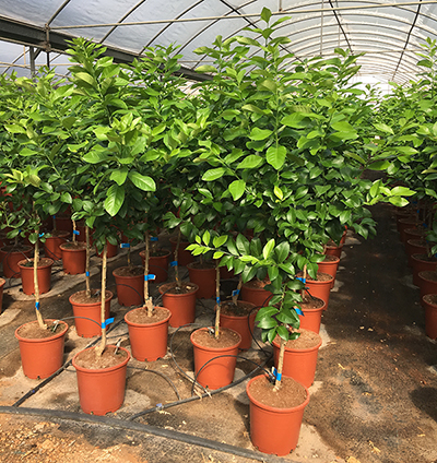 Sale of citrus and fruit trees